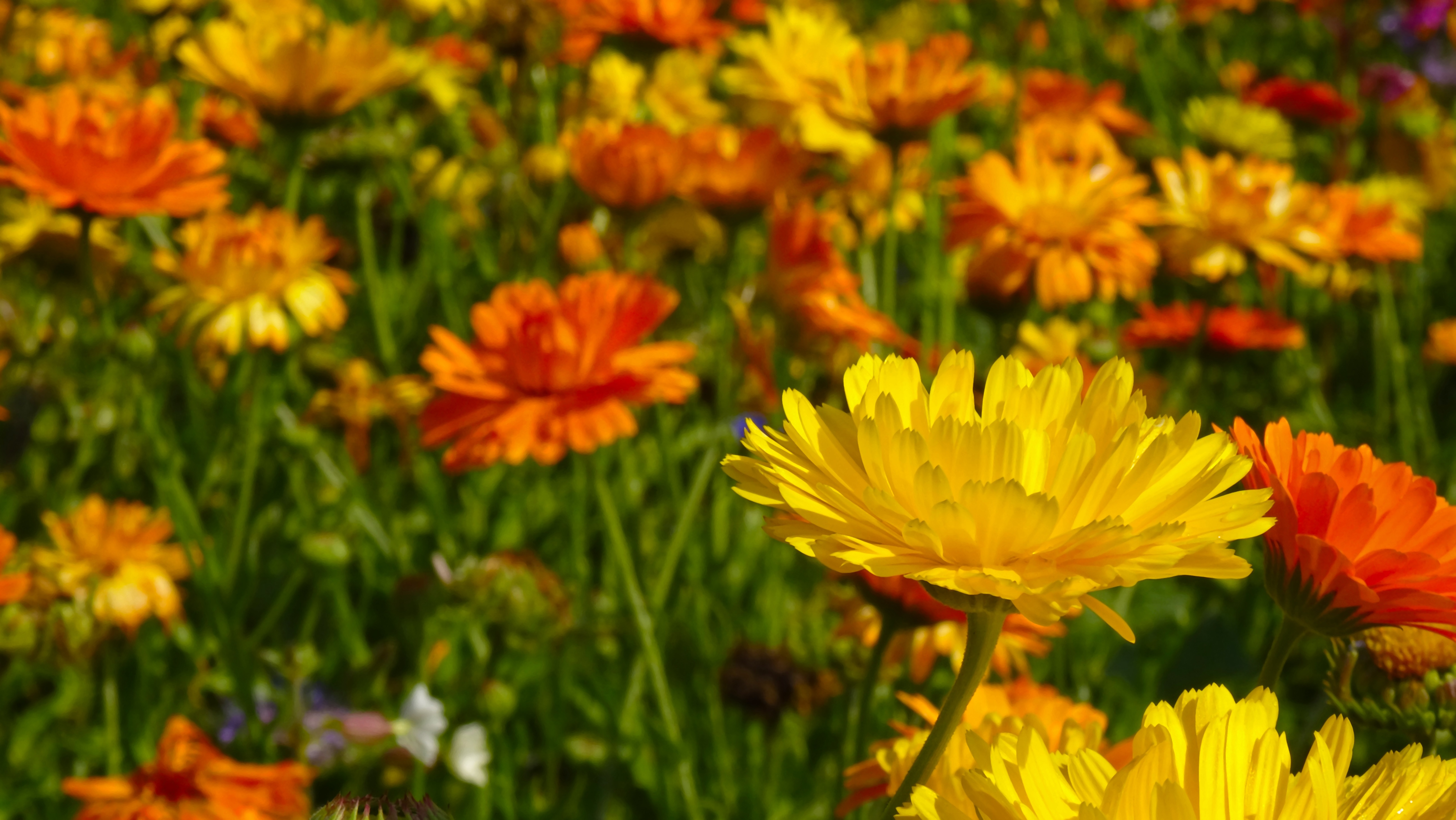 What to plant in March - marigolds