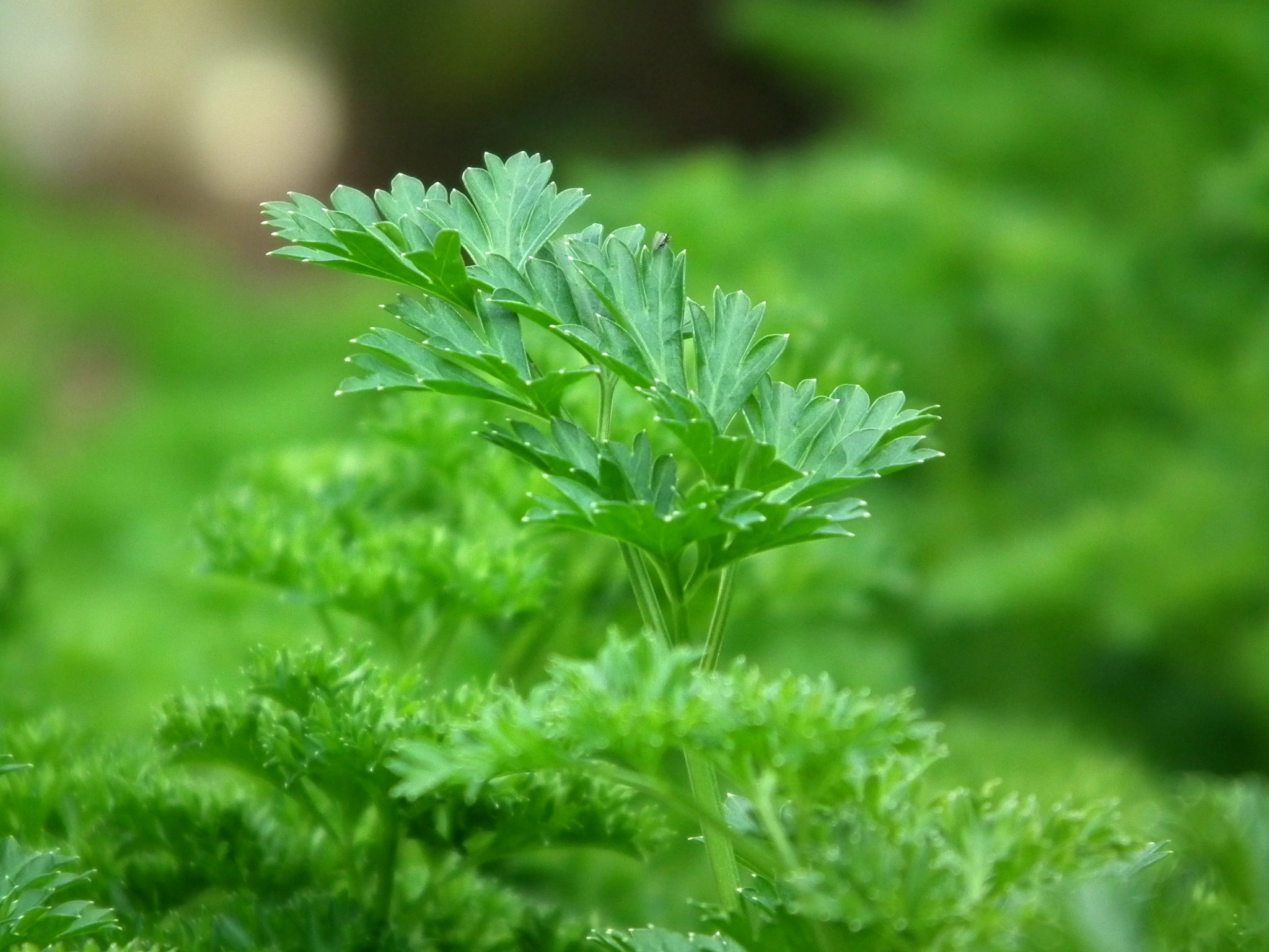 What to plant in March - parsley